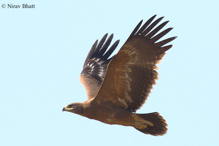 Kazakh Steppe Eagle on the wintering grounds in India. Photo Nirav Bhatt.