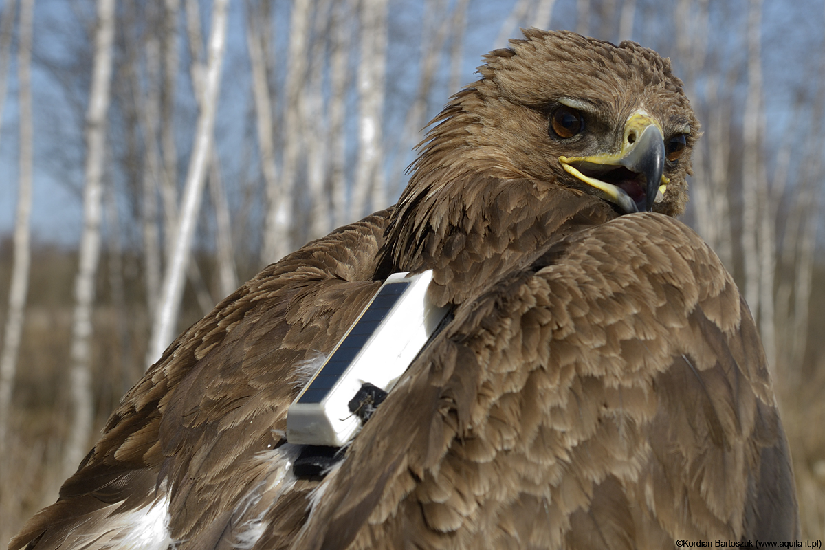 "Spotted Eagle's ""First Lady"" - 20-year-old female fitted with ""Aquila"" datalogger."
