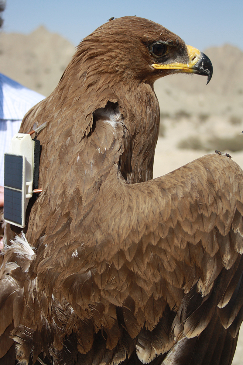 The Steppe Eagle with our datalogger and a bunch of Omanian flies. Photo: M. McGrady.