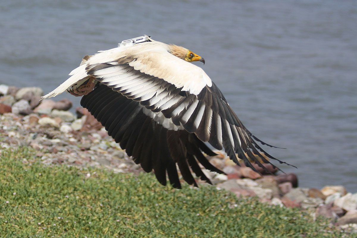Adult Egyptian Vulture right after fitting our logger in african Djibouti. Photo: M. McGrady.