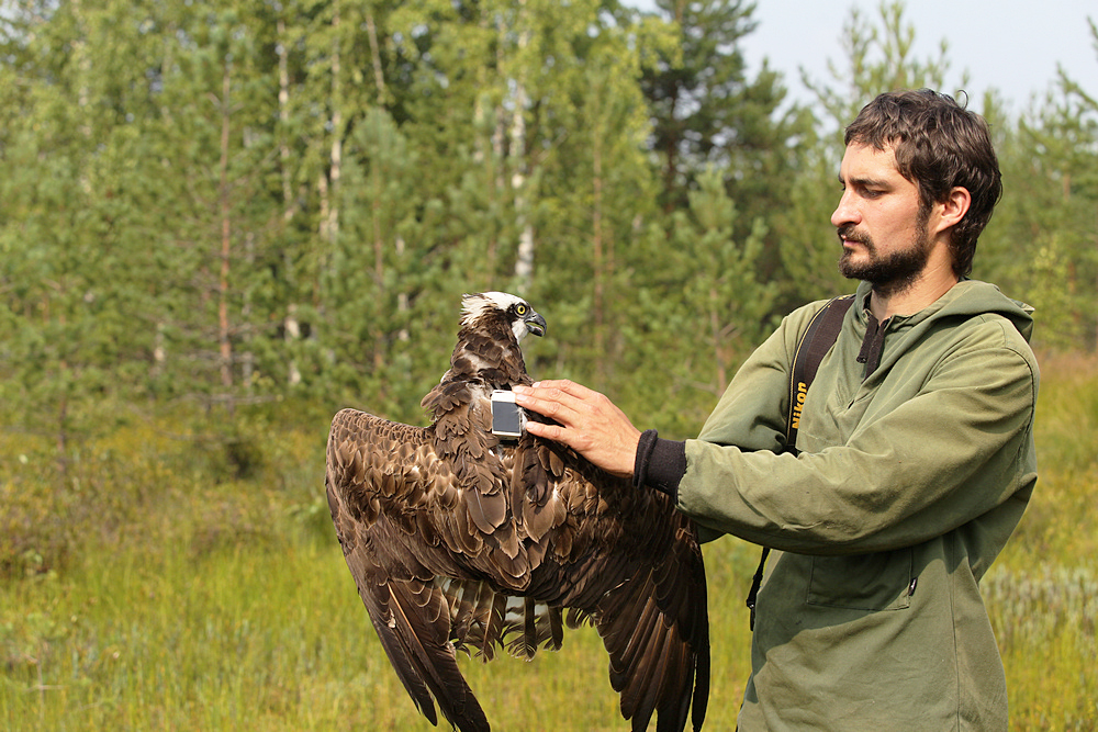 For many years Russian scientist Miroslav Babushkin has been researching Ospreys in Russia. Photo: Oksana Demina.